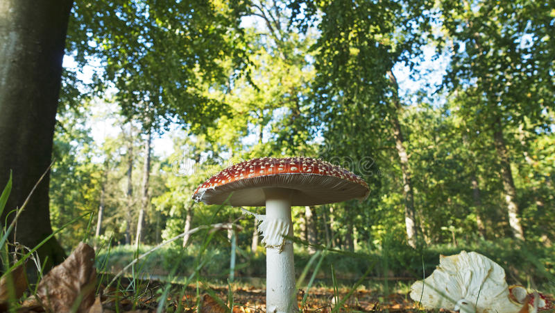 Fly agaric mushroom royalty free stock photography