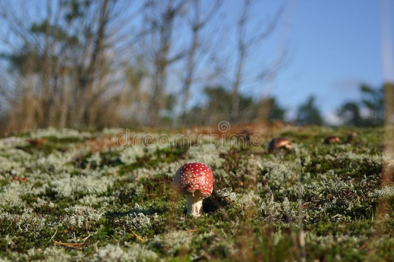 An fly agaric mushroom growing alone in a sunny field royalty free stock image