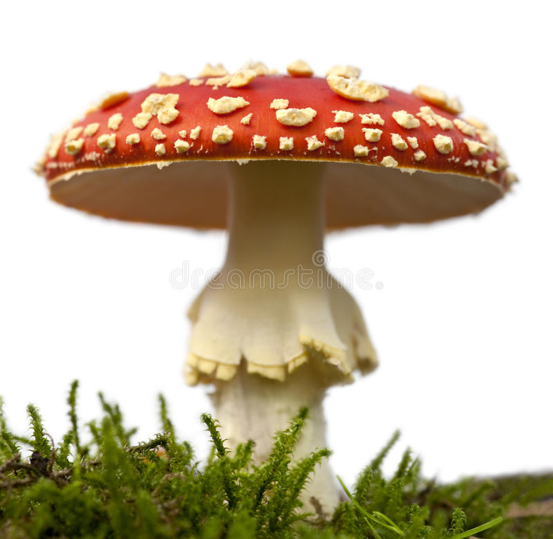 Free Fly Agaric Or Fly Amanita Mushroom Stock Images - 17254274