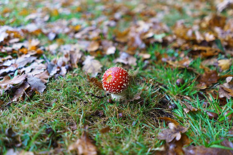 Fly Agaric toadstool - poisonous wild mushroom variety royalty free stock photos