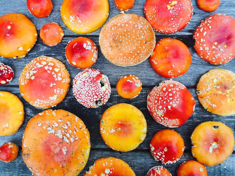 Fly agarics stock image