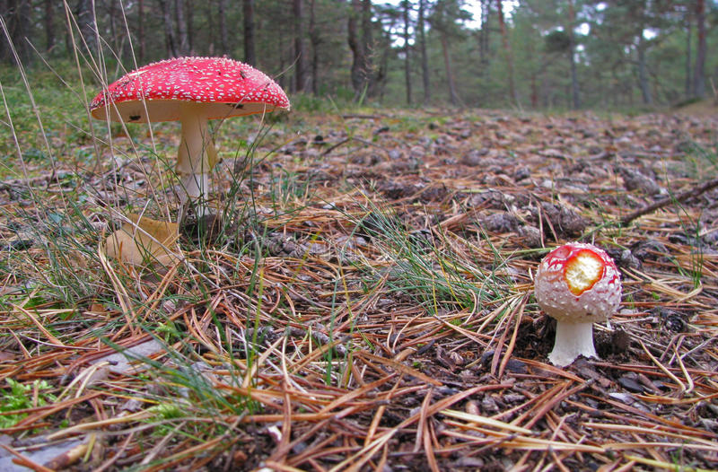 Fly Agarics in the woods. One larger and one smaller fly agaric in the forest growing though the needles royalty free stock image