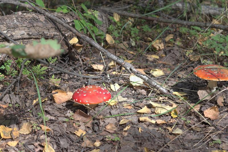 Fly amanita of the autumn forest. walk over rough terrain. Fly amanita of autumn forest. walk over rough terrain stock photos