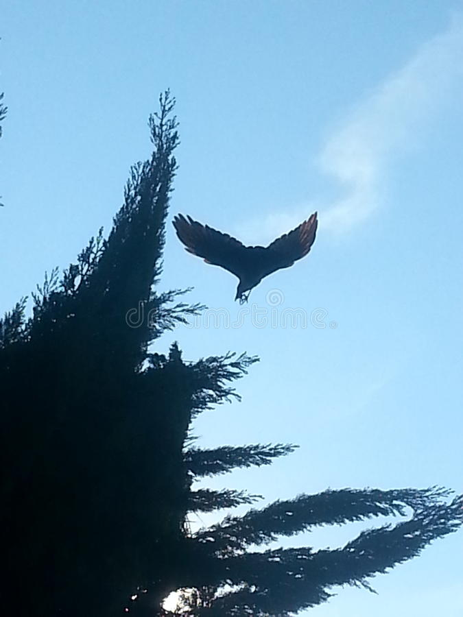 Fly away crow royalty free stock image