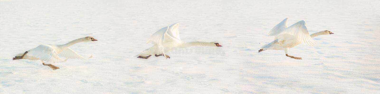 Fly away. Panorama picture of three white swans taking off, flying away, in a white snow background