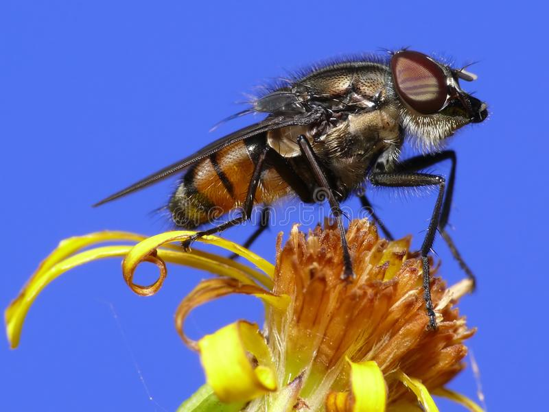 Download Fly with beard stock photo. Image of beard, insect, wings - 3980342