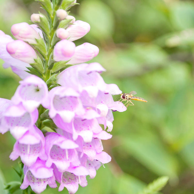 Fly On Beautiful Lilac Flowe Stock Photography