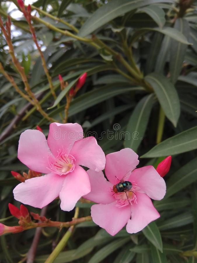 flower fly royalty free stock photography