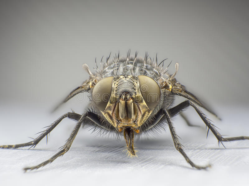 a fly,close up, macro, big fly, monster insect, front view stock photo