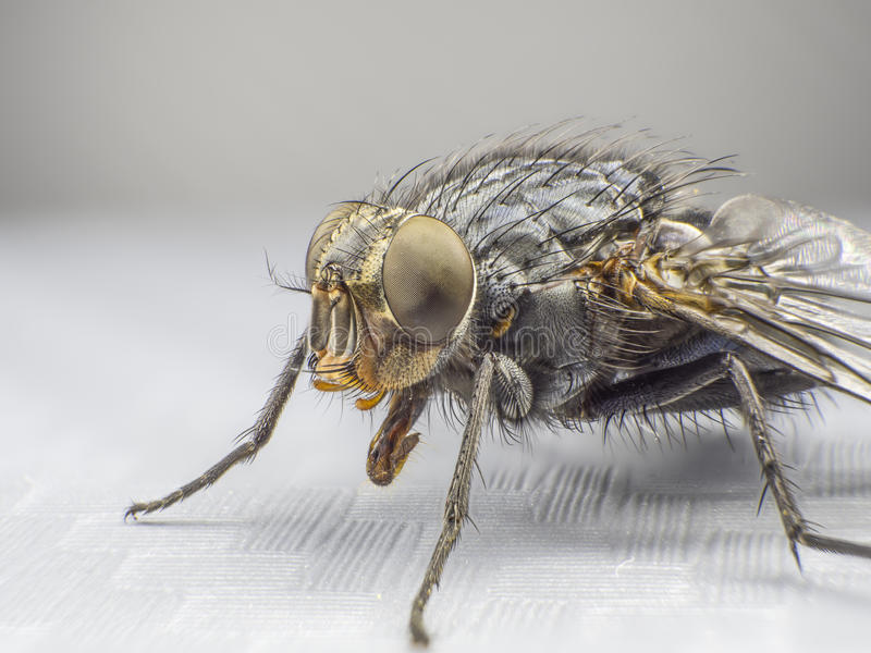 A fly,close up, macro, big fly, monster insect, side view royalty free stock photos