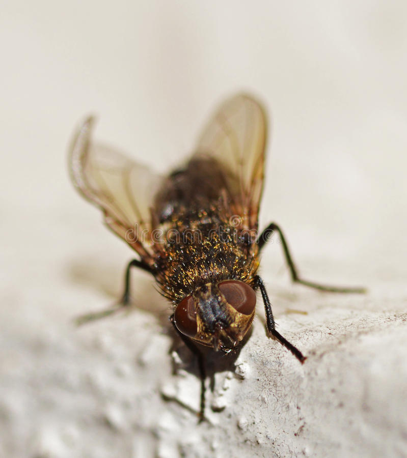 Fly. A cute hairy golden fly stock photo