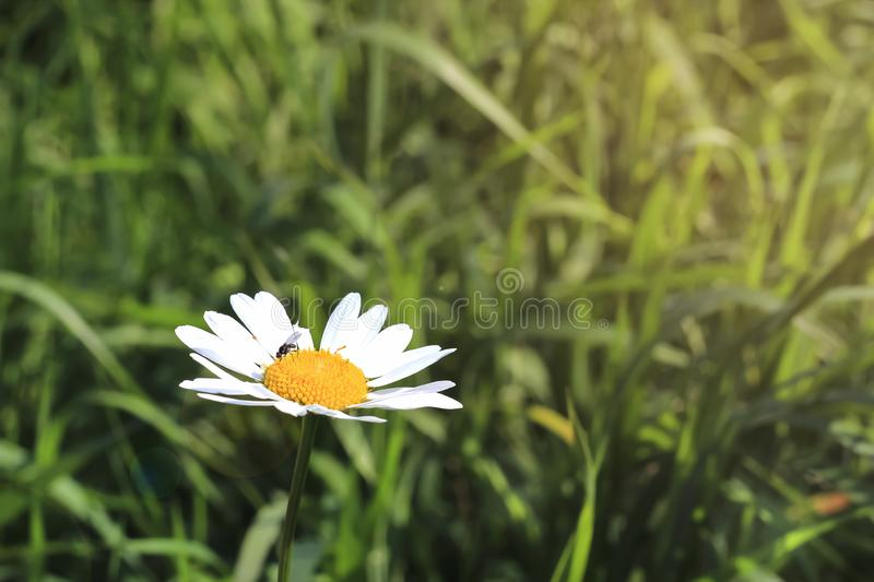 Fly on daisy flower chamomile isolated on green grass background. Copy space. Selective focus. Macro photo.  stock photo