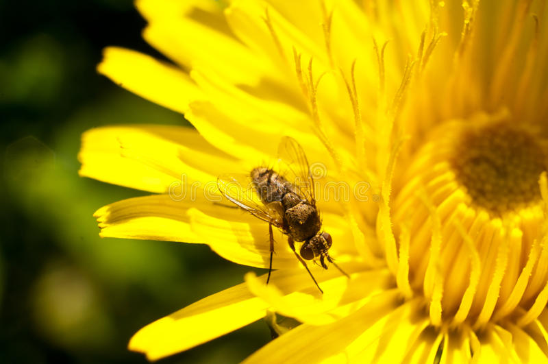 Download Fly on a dandelion stock photo. Image of floral, animal - 41385206