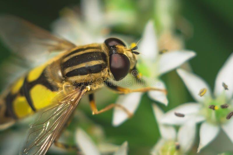 Fly Diptera Syrphidae. Closeup macro photo garden assistant stock photography