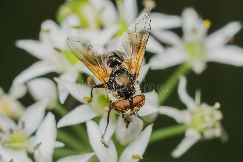 Fly Diptera Syrphidae. Closeup macro photo garden assistant stock images