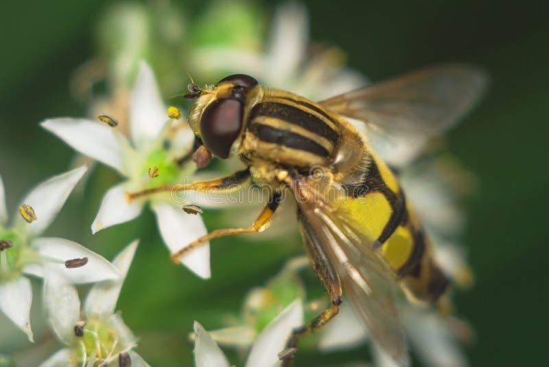Fly Diptera Syrphidae. Closeup macro photo garden assistant royalty free stock photo