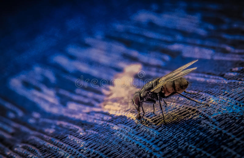 Fly drinking water stock photos