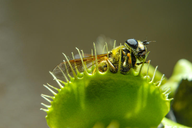 Fly eaten by carnivorous plant. Fly is eaten by carnivorous green plant royalty free stock photography