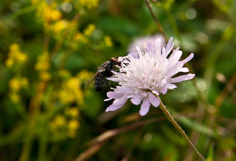 Fly eating nectar stock images
