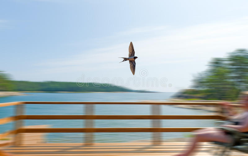 Fly by fast. Barn swallow fly by fast over the terrece royalty free stock image