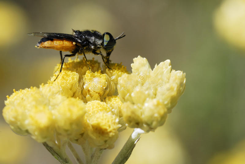 Download Fly Feeding On Yellow Flower Stock Image - Image: 15705217