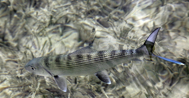 Fly fishing for bonefish. Bonefish is one of the most favourite gamefish in the flats royalty free stock photo