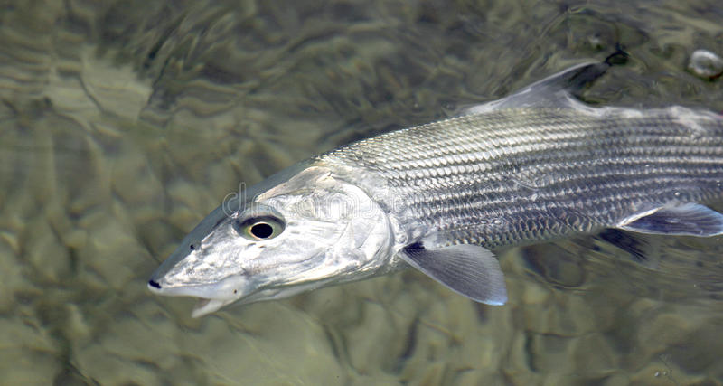 Fly fishing for bonefish. Bonefish is one of the most favourite gamefish in the flats stock photography