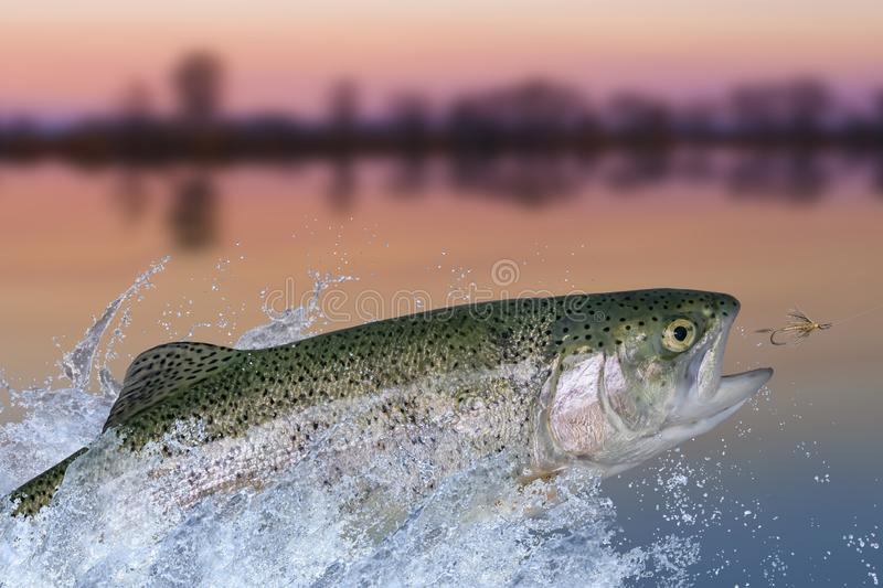 Fly fishing. Rainbow trout fish jumping for catching synthetic insect with splashing in water.  stock photo