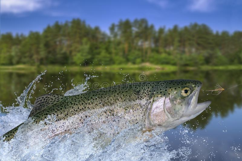 Fly fishing. Rainbow trout fish jumping for catching synthetic insect with splashing in water.  royalty free stock photos