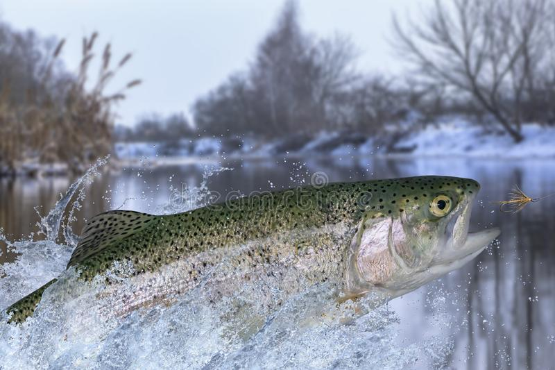 Fly fishing. Rainbow trout fish jumping for catching synthetic insect with splashing in water.  royalty free stock image