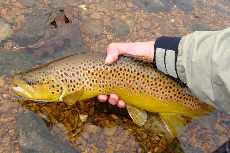 Fly Fishing, Releasing Large Colorful Brown Trout royalty free stock images
