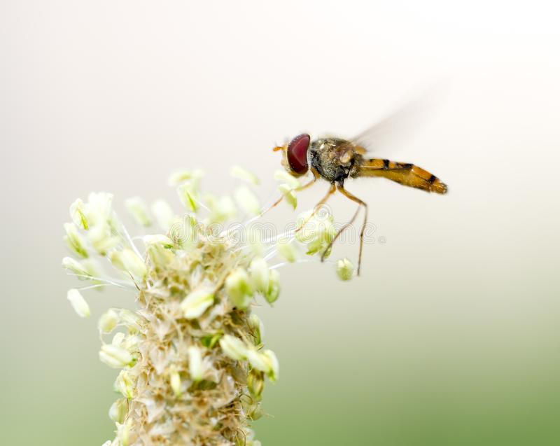 Fly in flight in nature. macro stock photos