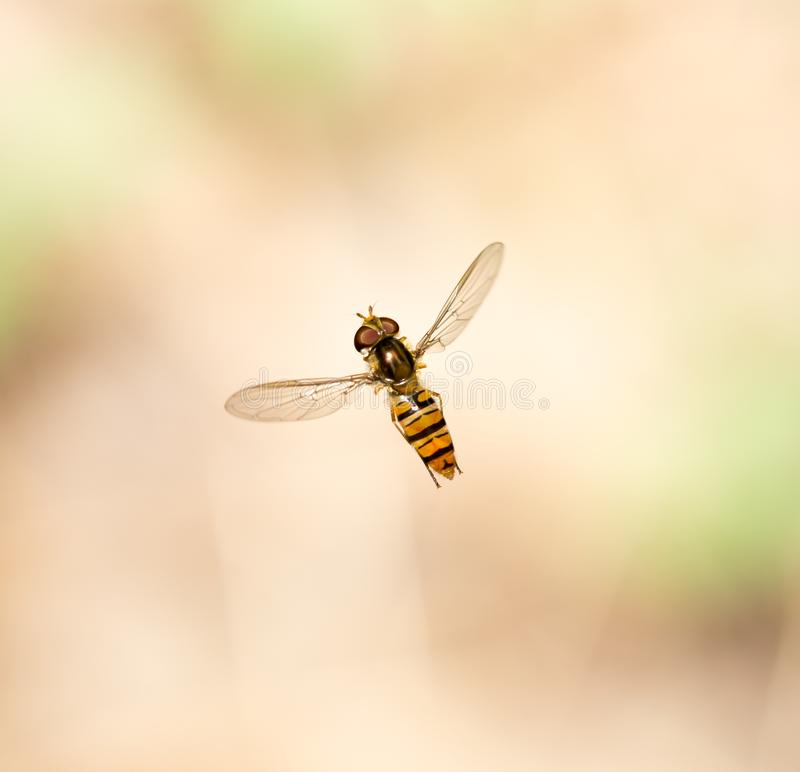 Fly in flight in nature. macro stock images