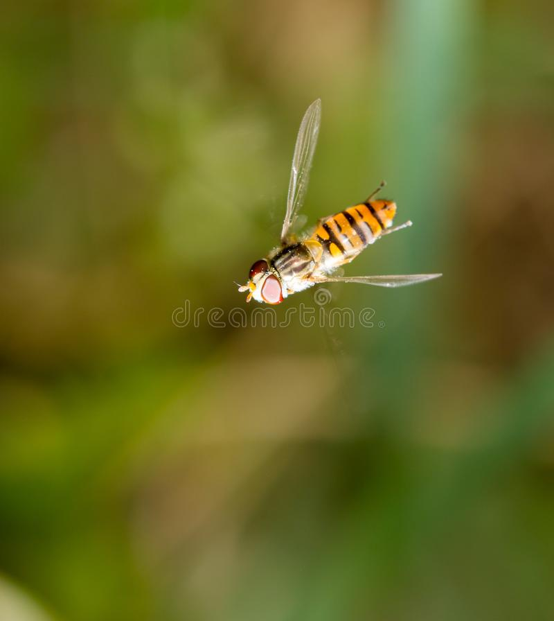 Fly in flight in nature. macro. In the park in nature royalty free stock photos
