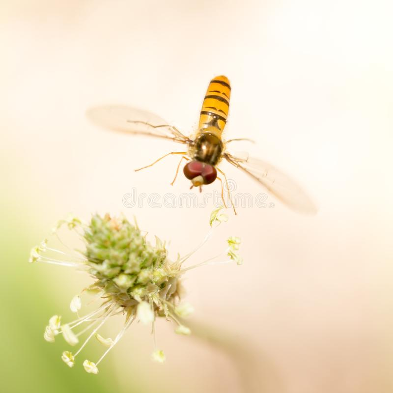 Fly in flight in nature. macro royalty free stock photography
