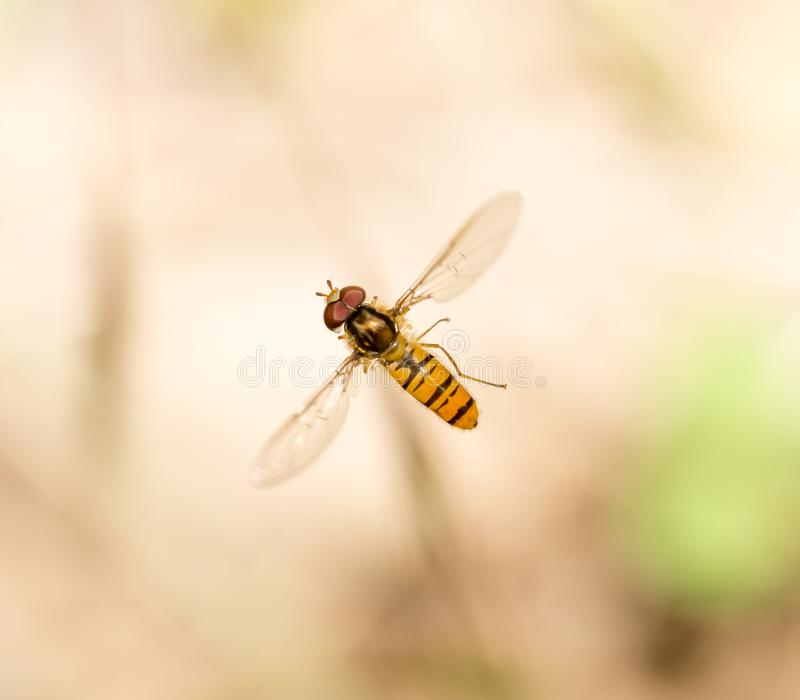 Fly in flight in nature. macro royalty free stock photo