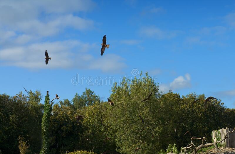 Flight of eagles through the forest royalty free stock image