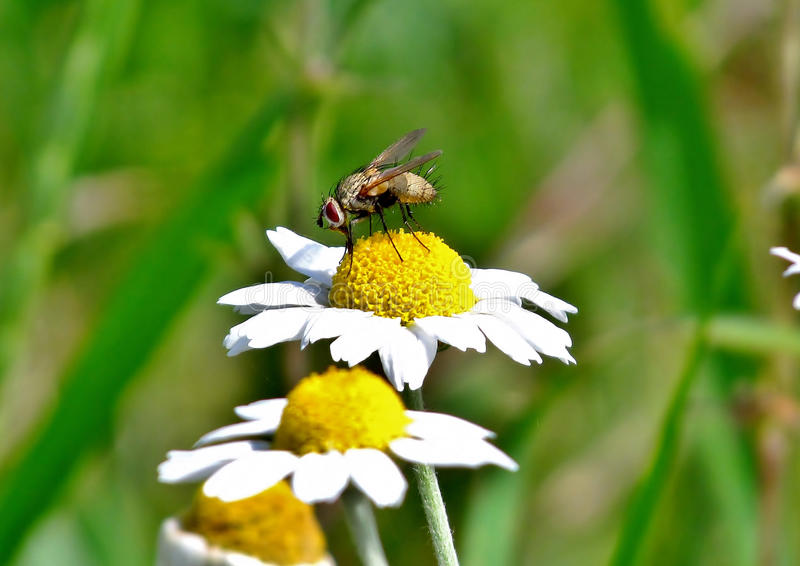 Fly on a flower. Fly sits on a flower, and flower nectar absorbs royalty free stock images