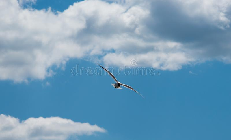 On the fly gevangen zeemeeuw royalty-vrije stock afbeelding