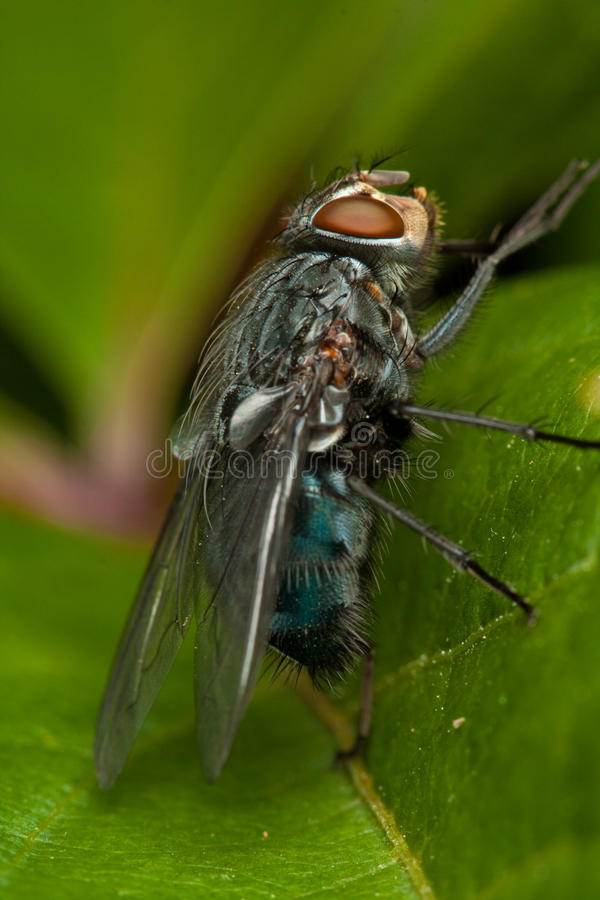 Download Fly on green leaf stock image. Image of life, parasitic - 16039045