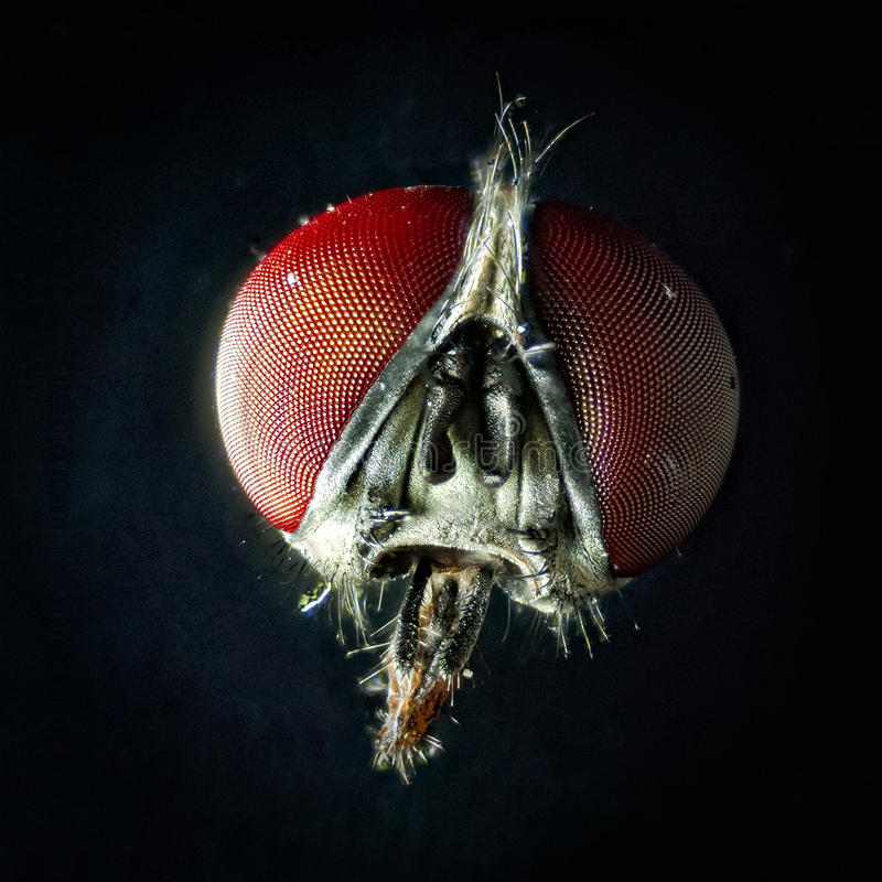 Fly head. Fly hairy head with red eyes under microscope royalty free stock photos