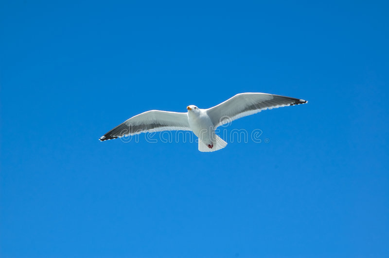 Download Fly high free stock image. Image of myway, seagull, terns - 8100533