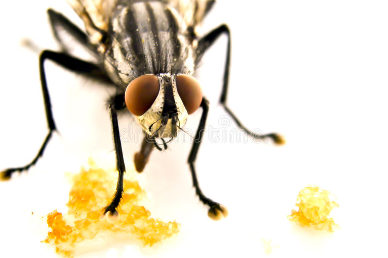 Download Fly home (Musca domestica) stock photo. Image of magnify - 25937864