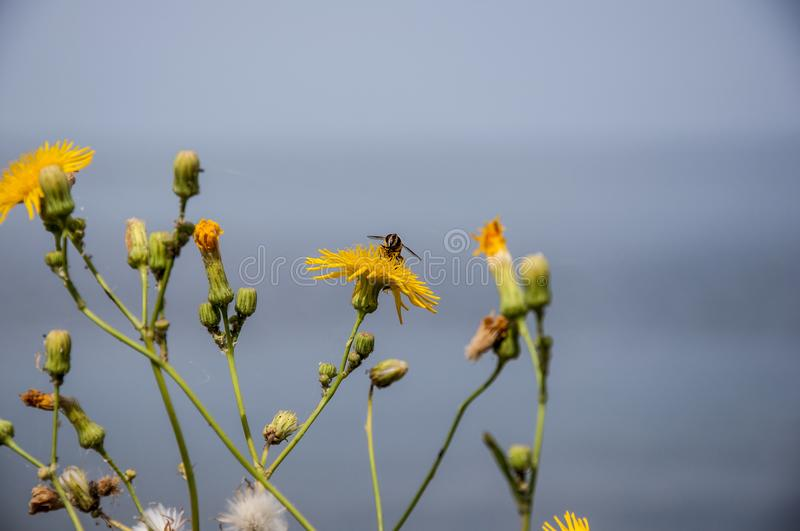 Fly insect perched on yellow flowers against a blurred blue sky and blue water stock photos