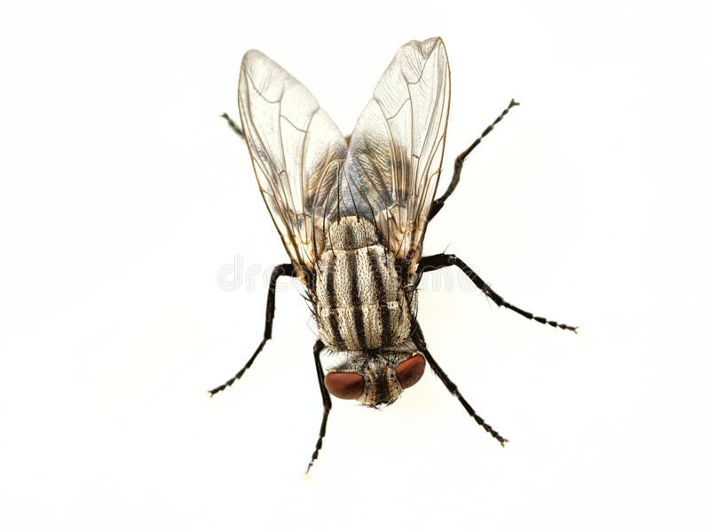 Fly isolated royalty free stock image