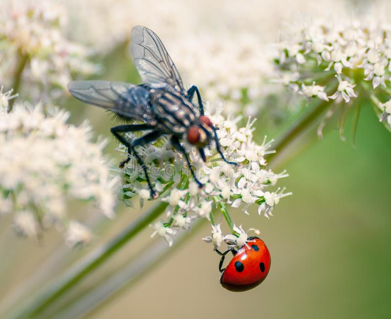 Fly and ladybug royalty free stock photos
