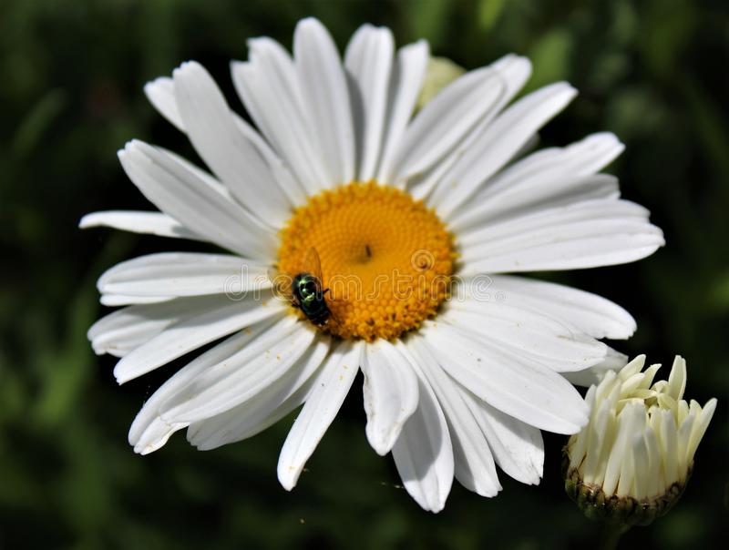 A fly lands on a Shasta daisy for nector. Lunch stop for a fly on full bloom Shasta daisy stock photography