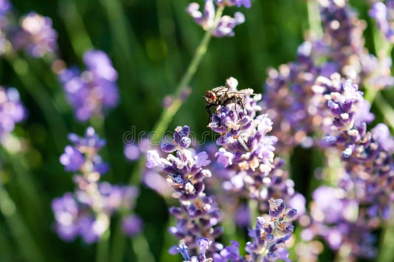 Fly on lavender angustifolia, lavandula blossom in herb garden in evning sunlight, sunset stock image