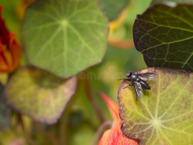 Download Fly on leaf stock image. Image of feeding, insect, destroy - 26594303