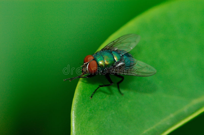 Download A fly on the leaf stock image. Image of compound, drop - 5056675